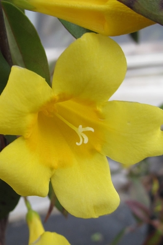 Carolina Yellow Jasmine (Jessamine) Gelsemium sempervirens - 1 Gallon Pot