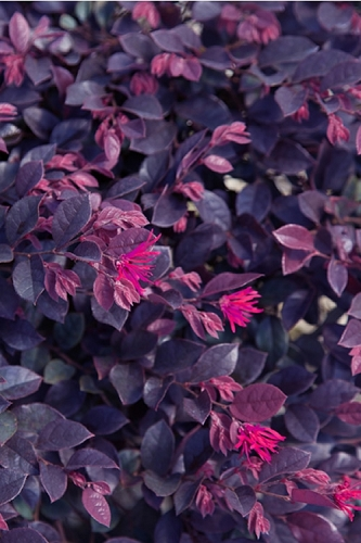 Purple Daydream Dwarf Loropetalum - 3 Gallon Pot
