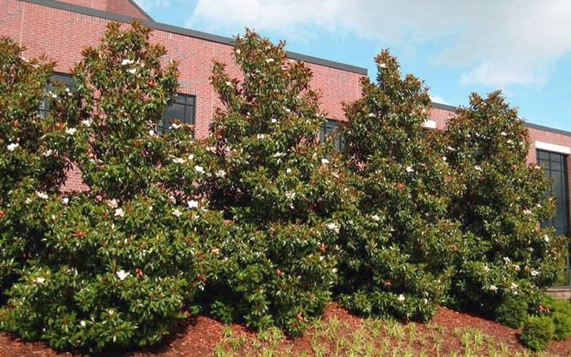 Buy Little Gem Dwarf Southern Magnolia Free Shipping 3 Gallon