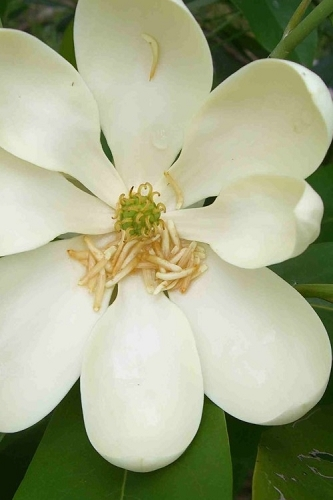 Moonglow Sweetbay Magnolia Tree (Magnolia virginiana 'Jim Wilson') - 3 Gallon Pot