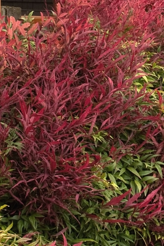 Burgundy Wine Dwarf Nandina - 1 Gallon Pot