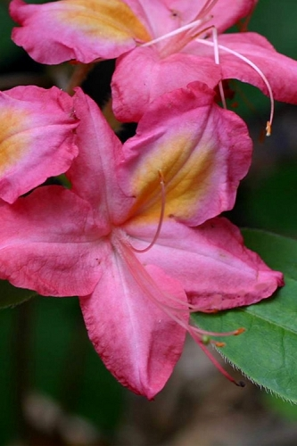 Country Cousin Pink Aromi Azalea (Rhododendron hybrid) - 3 Gallon Pot