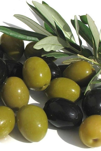 Arbequina Olive Tree - 2 Gallon Pot