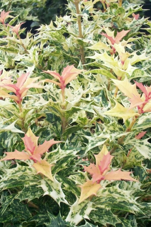 Goshiki Osmanthus (Variegated False Holly) - 1 Gallon Pot