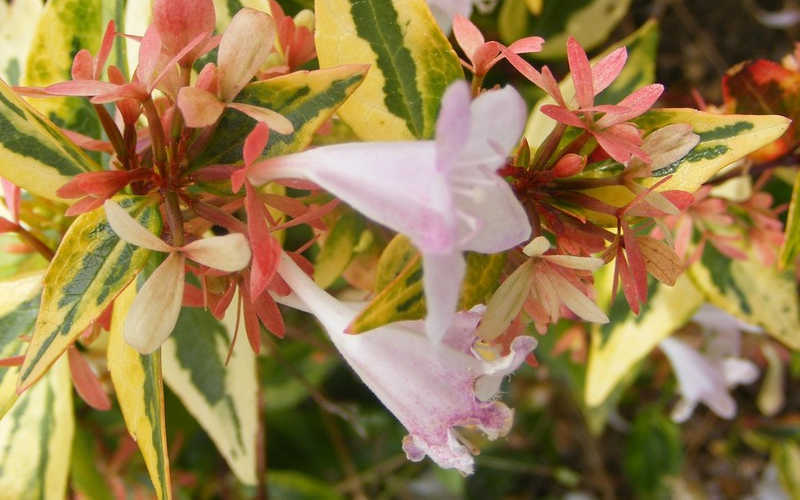 Buy Francis Mason Abelia For Sale Online From Wilson Bros Gardens