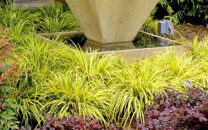 Buy golden sweet flag acorus gramineus ogon for sale for Ornamental grass yellow
