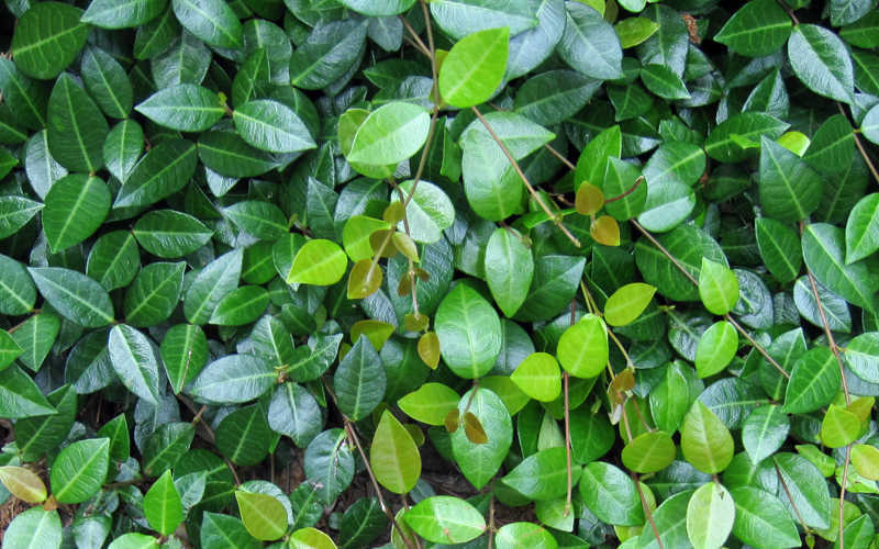 Buy Asian or Asiatic Jasmine For Sale Online From Wilson ...