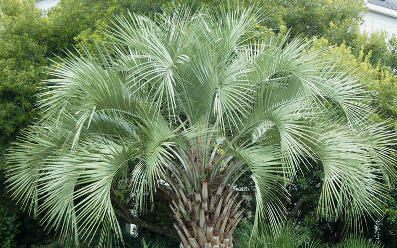 The Pindo Palm Also Known As Jelly Is A Hardy Beautiful Feather That Has Long Arching Leaves Curve Towards Ground From Atop