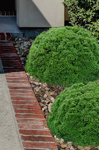 Justin Brouwers Dwarf Boxwood - 6 Pack of 1 Gallon Pots