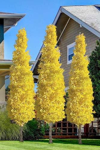 Sky Tower Ginkgo Maidenhair Tree (Male) - 5 Gallon Pot