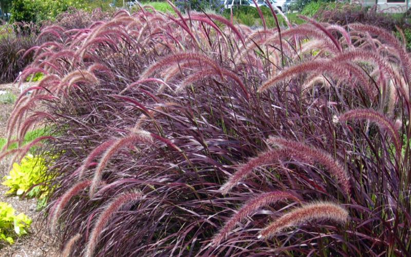 Buy Purple Fountain Grass Free Shipping Pennisetum Rubrum For