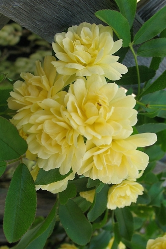 Lady Banks Yellow Rose - 3 Gallon Pot