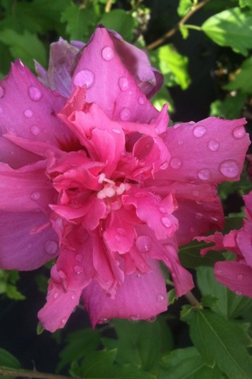 Buy Lucy Rose Of Sharon Althea Hardy Hibiscus Free