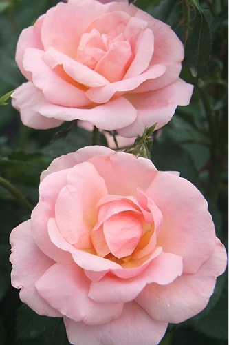 Peachy Keen Shrub Rose