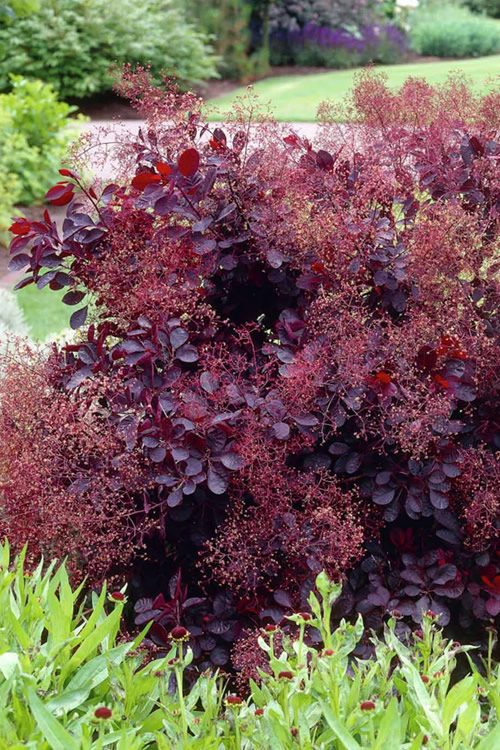 Buy Royal Purple Smoke Tree Smokebush Free Shipping