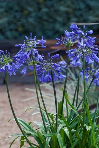 Ever Sapphire Agapanthus - Lily of the Nile - 2.5 Quart Pot