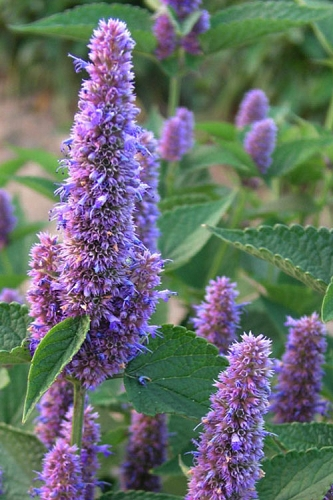 Honey Bee Blue Agastache (Hummingbird Mint) - 1 Gallon Pot