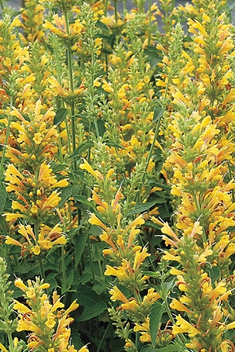 Kudos Yellow Agastache - Hummingbird Mint - 1 Gallon Pot