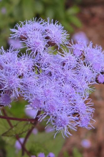 Hardy Ageratum (Blue Mistflower) - 1 Gallon Pot