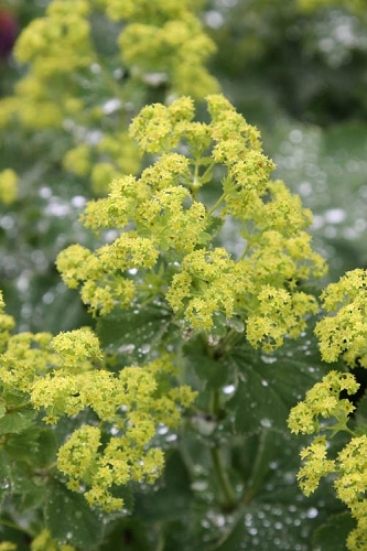 Thriller Lady's Mantle (Alchemilla mollis) - 1 Gallon Pot