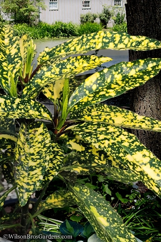 Hosoba Hoshifu Variegated Aucuba (Japanese Laurel) - 3 Gallon Pot