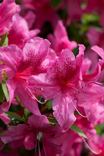 Orchid Showers Deja Bloom Azalea - 1 Gallon Pot