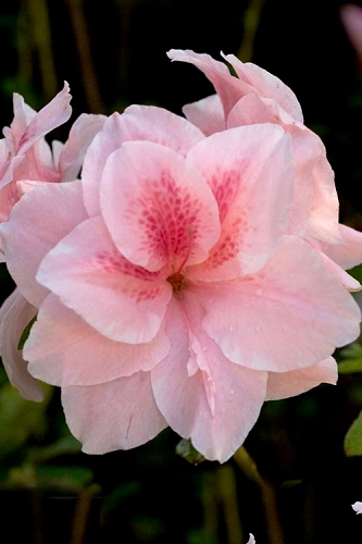 Autumn Belle Encore Azalea - 3 Gallon Pot
