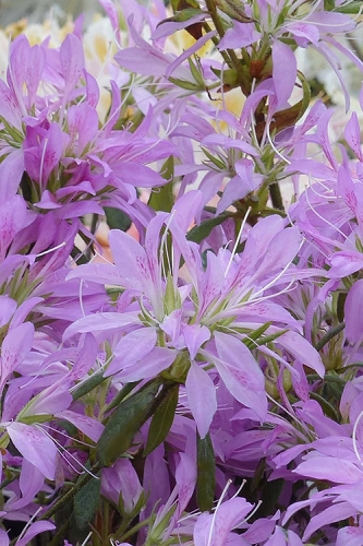 Koromo Shikibu Purple Spider Azalea - 1 Gallon Pot