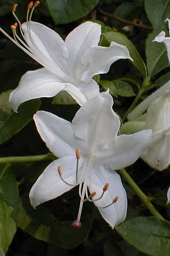 Texas Azalea (Rhododendron oblongifolium) - 3 Gallon Pot