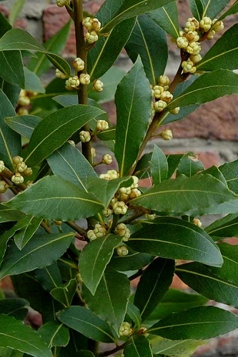 Bay Laurel (Sweet Bay) - Laurus nobilis - 2 Gallon Pot