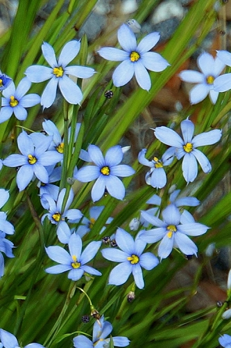 Blue Note Blue-Eyed Grass - 1 Gallon Pot