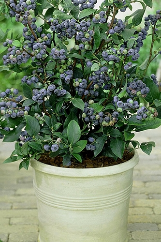 Top Hat Dwarf Blueberry - 1 Gallon Pot