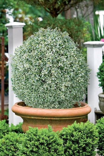 Elegans Variegated Boxwood - Buxus sempervirens 'Elegantissima' - 1 Gallon Pot