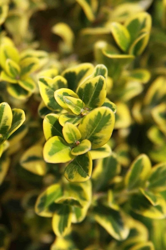 Golden Triumph Variegated Dwarf Boxwood - 6 Pack of 1 Gallon Pots