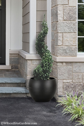 Common Boxwood Spiral Topiary - 5 Gallon Pot
