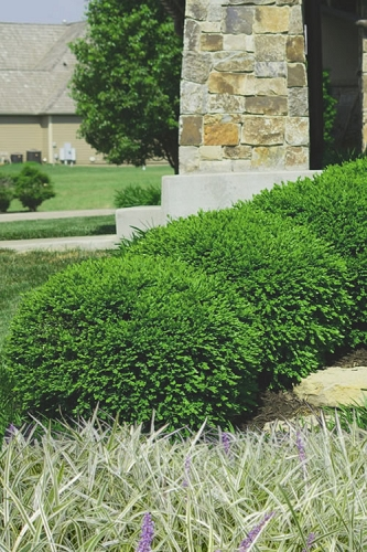 Green Velvet Boxwood - 6 Pack of 1 Gallon Pots