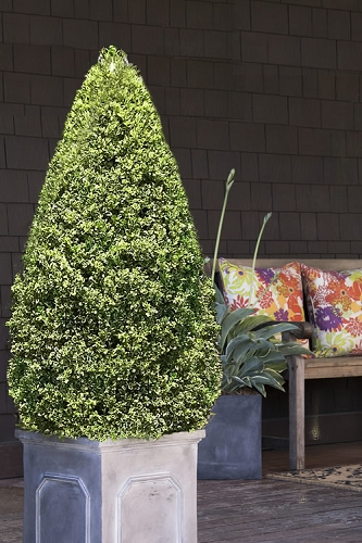 Variegated Boxwood Cone Topiary (Buxus sempervirens 'Variegata') - 5 Gallon Pot
