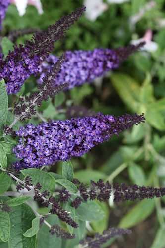 Pugster Blue Butterfly Bush - Buddleia - 1 Gallon Pot