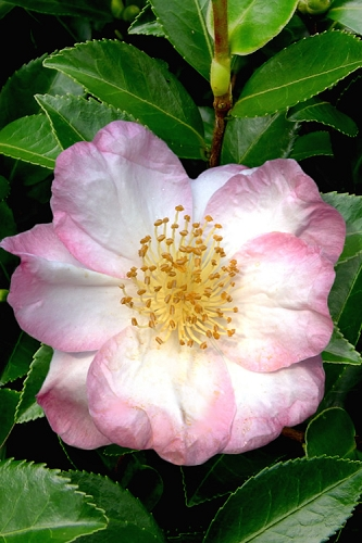 Apple Blossom Camellia Sasanqua - 3 Gallon Pot