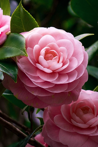 April Pink Cold Hardy Camellia Japonica - 1 Gallon Pot