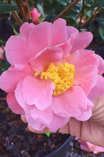 Arctic Dawn Cold Hardy Pink Camellia Hybrid - 1 Gallon Pot