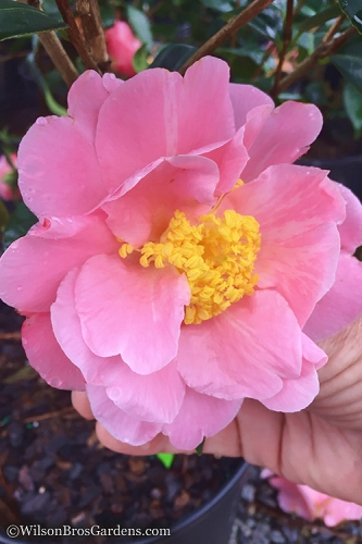 Arctic Dawn Cold Hardy Pink Camellia Hybrid - 3 Gallon Pot