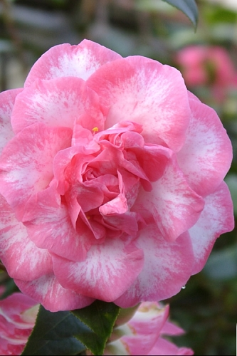 Betty Sheffield Camellia Japonica - 1 Gallon Pot