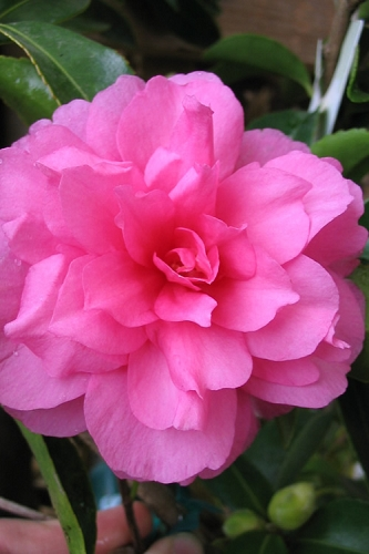 Chansonette Dwarf Weeping Camellia Sasanqua - 1 Gallon Pot