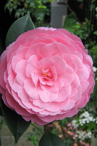 E.G. Waterhouse Camellia - williamsii hybrid - 3 Gallon Pot