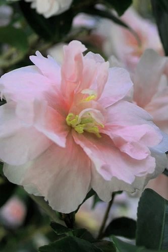 Jean May Camellia Sasanqua - 1 Gallon Pot