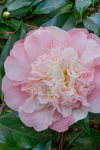 Look Again Camellia Japonica - 3 Gallon Pot
