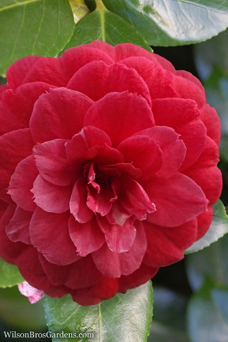 Mathotiana Rubra Camellia - 3 Gallon Pot