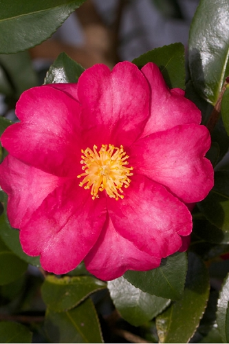 Red Bird Camellia Sasanqua - 3 Gallon Pot