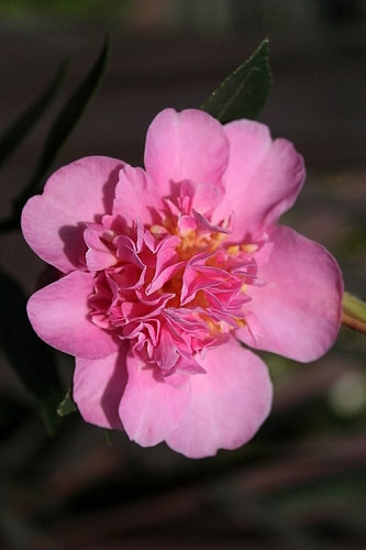 Showa No Sakae Dwarf Camellia Sasanqua - 1 Gallon Pot